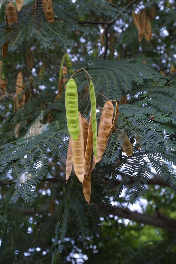 Albizia julibrissin (silk tree)  Go Botany