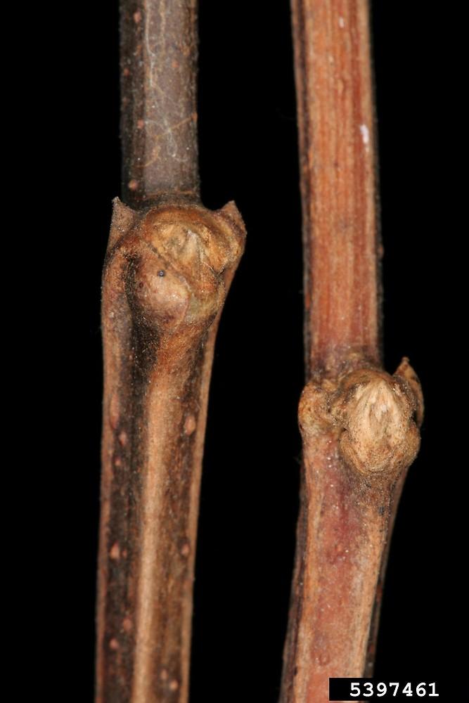 genus robinia locust go botany
