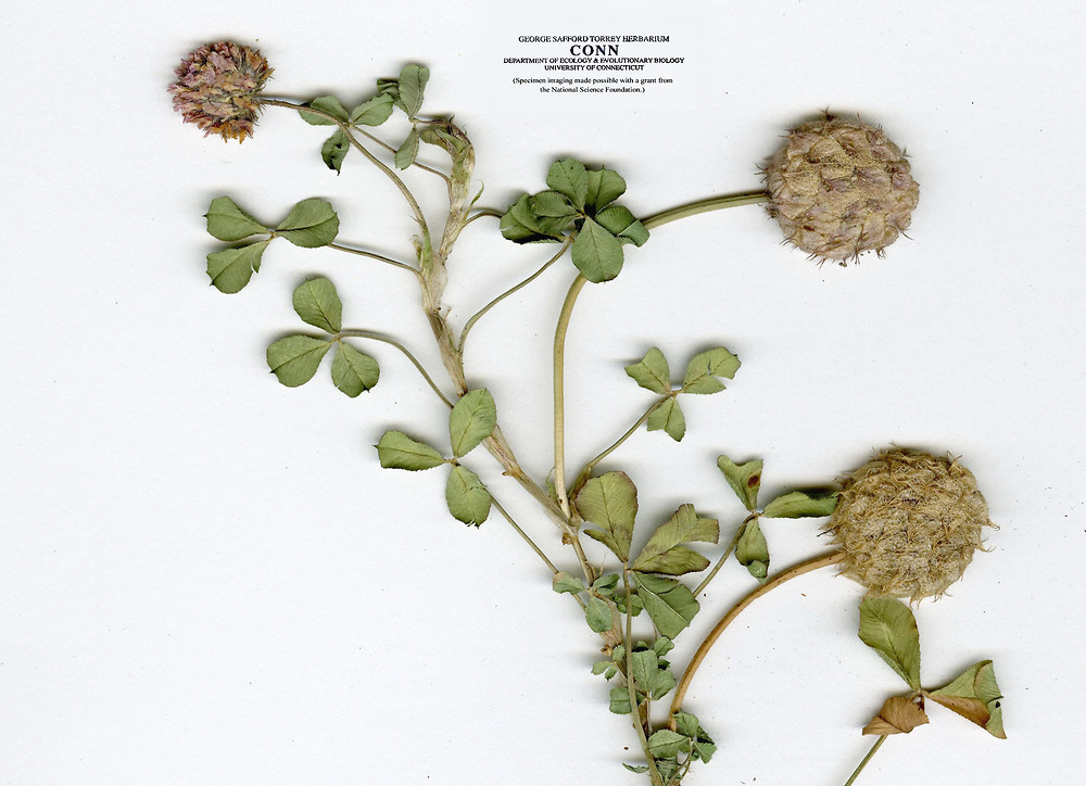 Trifolium fragiferum strawberry clover go botany - Nature curiosity stressed out plants emit animal like signals ...