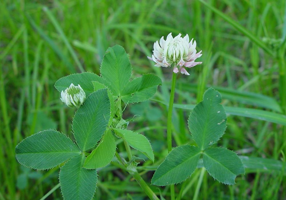 medicinal herbs: ALSIKE CLOVER - Trifolium hybridum