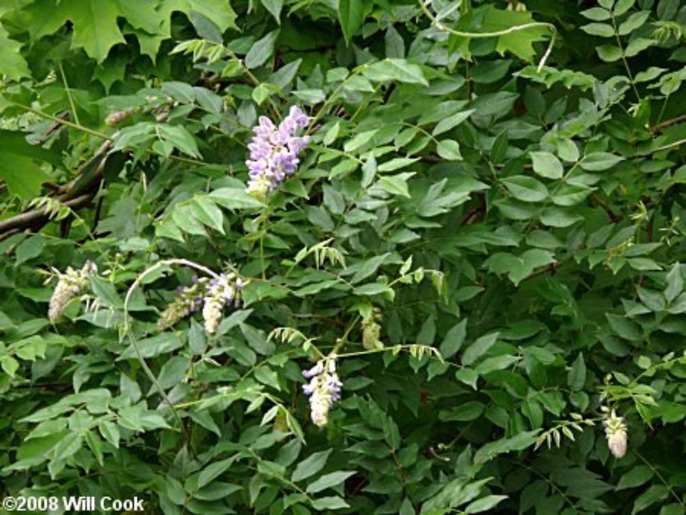 Genus Wisteria Wisteria Go Botany