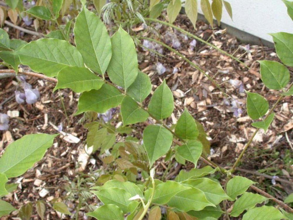 Wisteria Floribunda Japanese Wisteria Go Botany