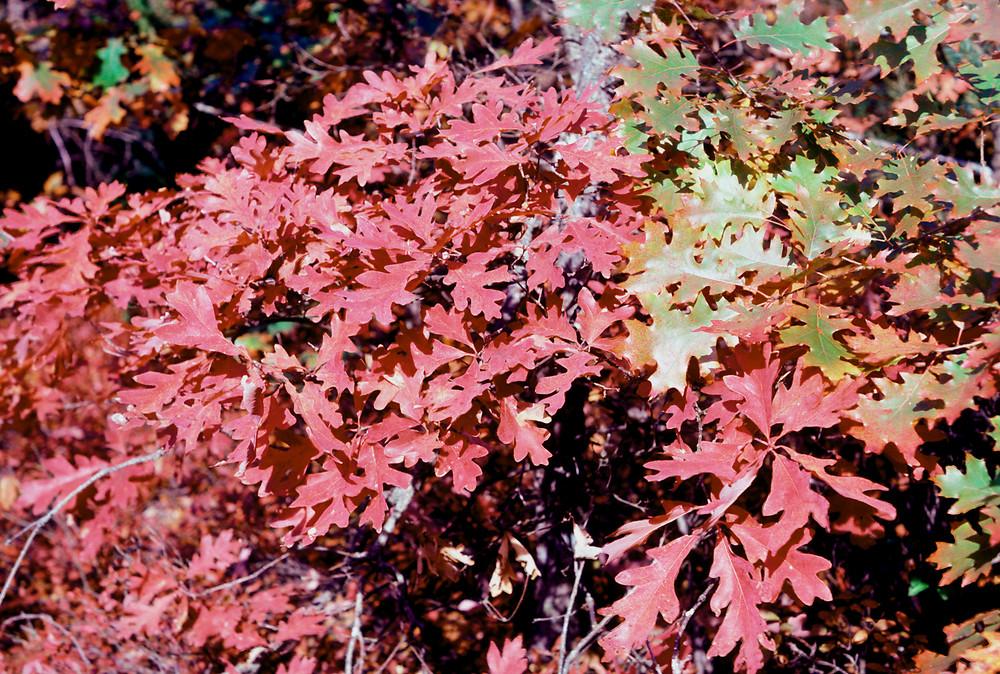 Quercus alba (eastern white oak): Go Botany  Quercus alba (e...