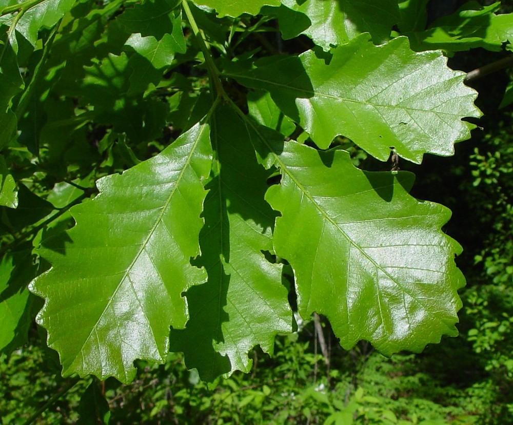 Plants Profile for Quercus bicolor swamp white oak