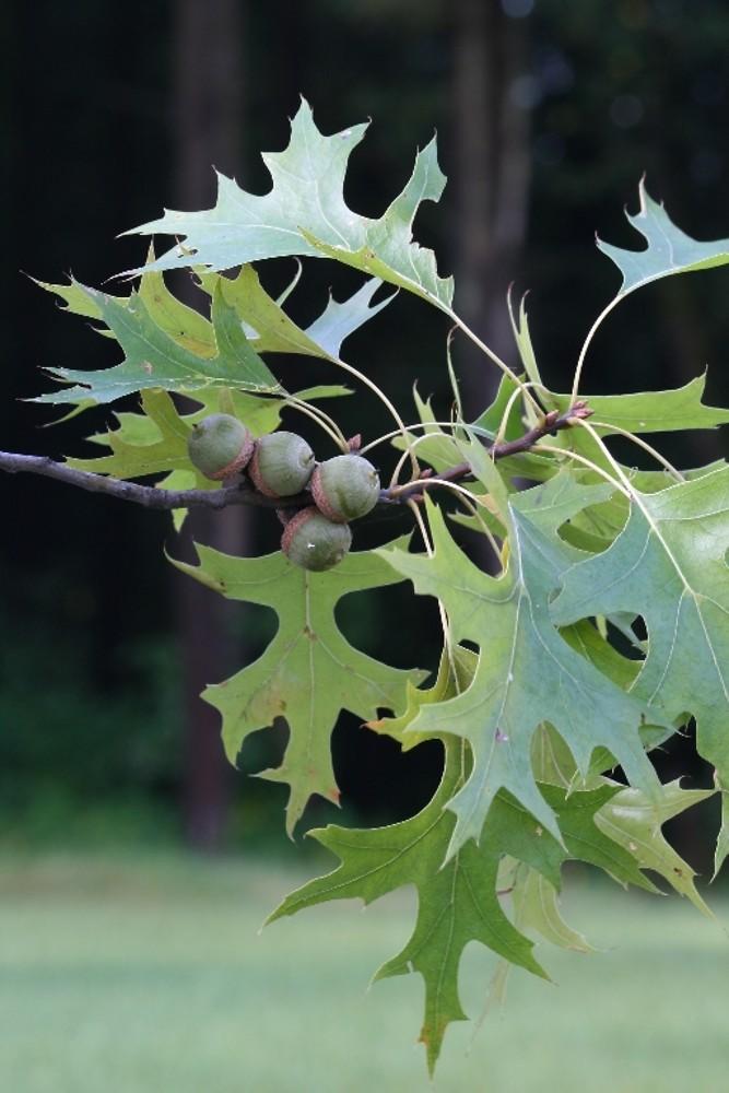Quercus Palustris Fr Atal