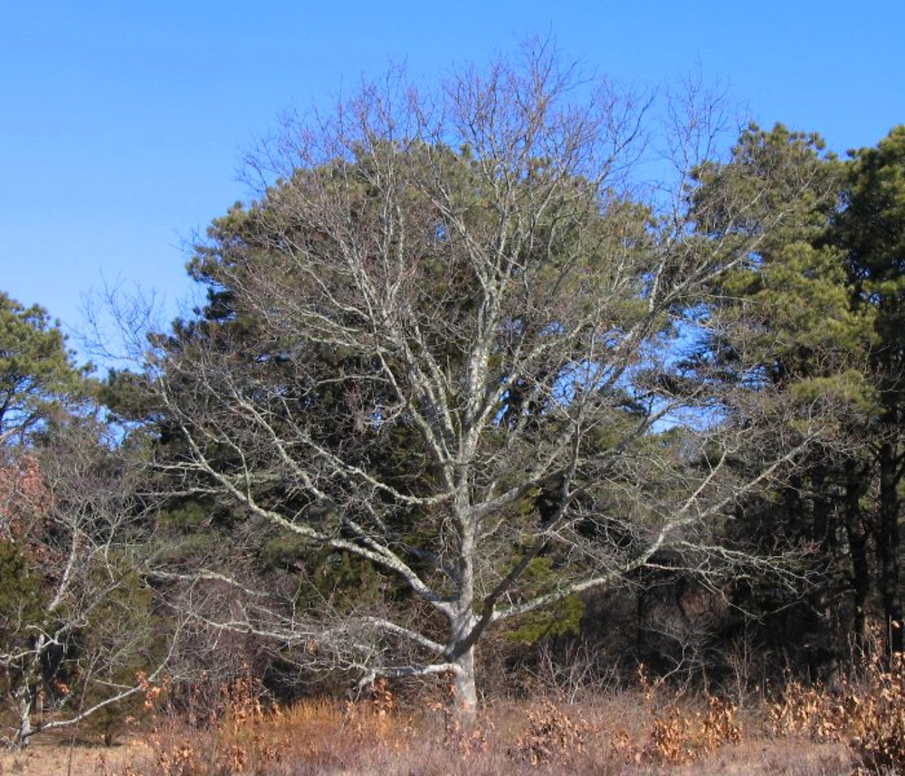 Northern Red Oak ~ Quercus rubra northern red oak go botany