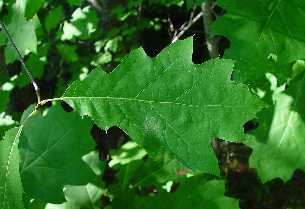 Quercus rubra northern red oak go botany