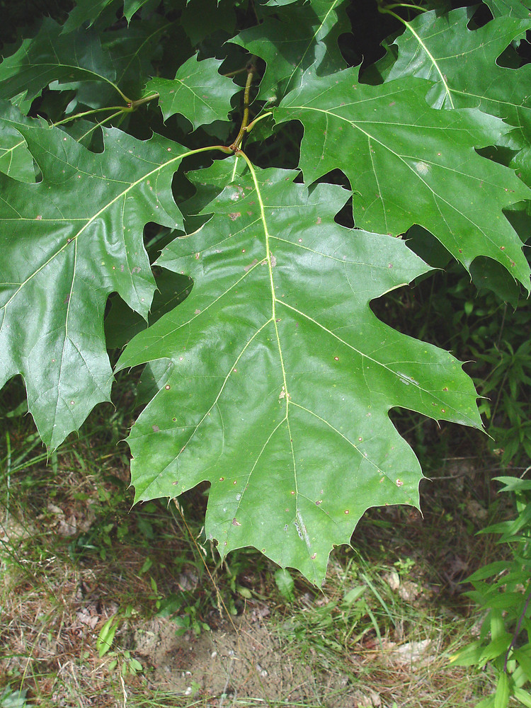 Quercus rubra (northern red oak): Go Botany