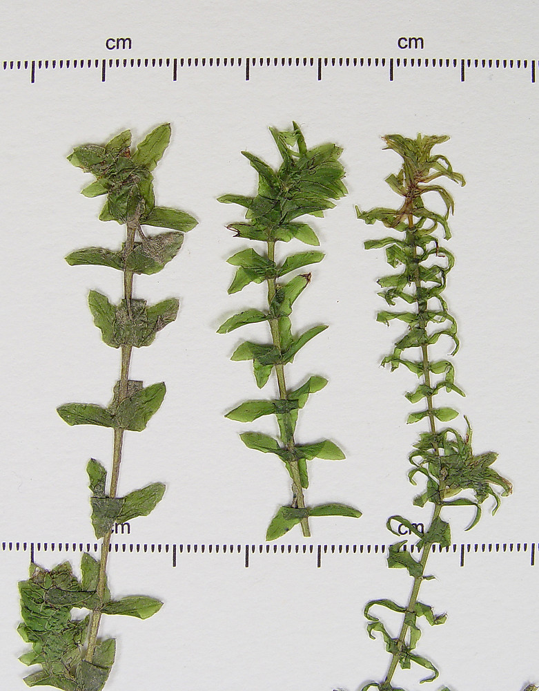 Elodea Canadensis Common Waterweed Go Botany