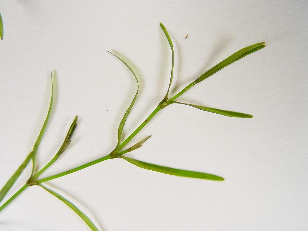 Najas Guadalupensis Najas guadalupensis (G...