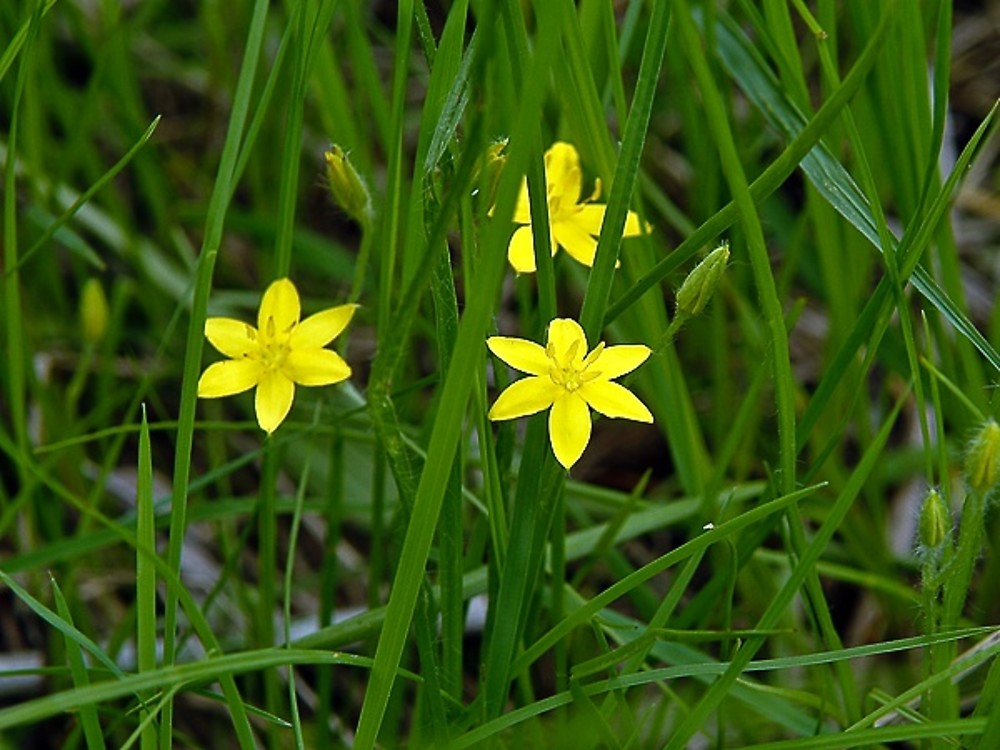 Hypoxis hirsuta common star grass go botany copyright 2018 cc inflorescences hypoxis hirsuta by paul s drobot copyright 2018 mightylinksfo