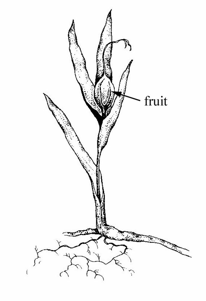 Iris Cristata Crested Iris Go Botany