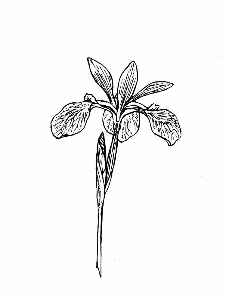 Iris versicolor blue iris go botany for Iris flower coloring page