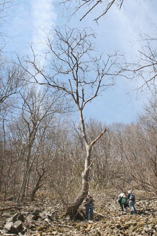 Juglans cinerea (butternut, white walnut): Go Botany
