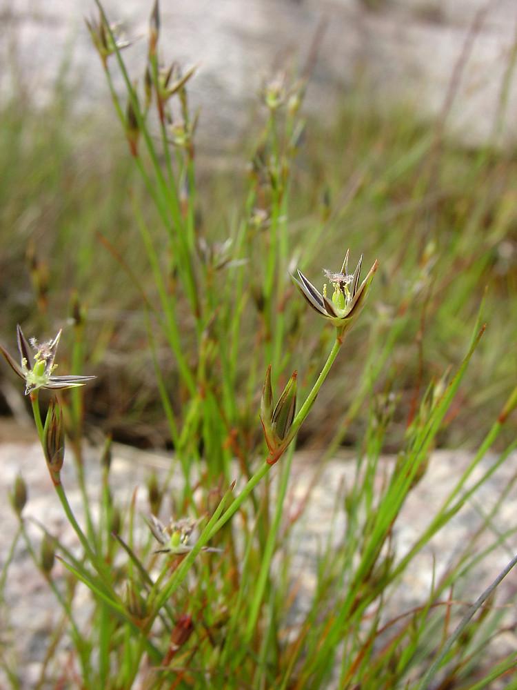 Juncus bufonius (toad rush): Go Botany