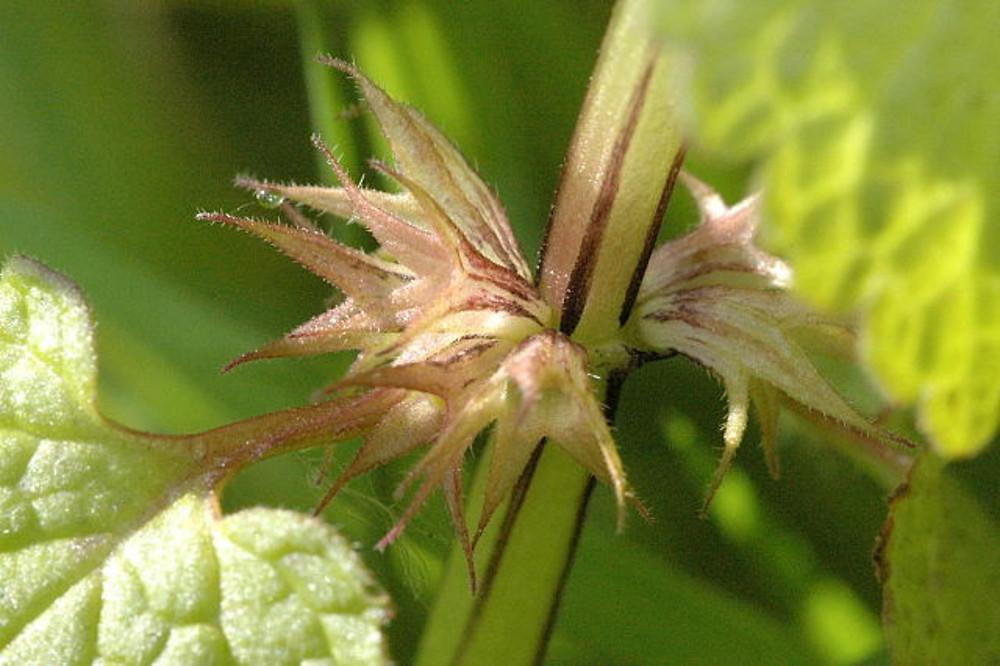 HERB A DAY: Lamium purpureum (nettle, purple, dead)