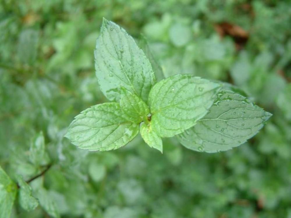 Mentha aquatica (water mint): Go Botany