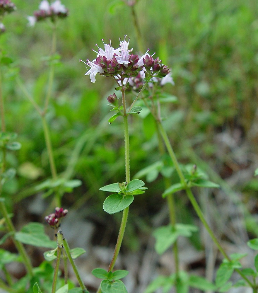 origanum vulgare Origanum vulgare, commonly known as oregano, is a bushy, rhizomatous, woody -branched perennial which typically grows to 1-3' tall and to 2' wide on square.