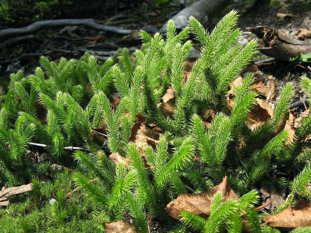 Lycopodium clavatum (common clubmoss, running clubmoss ...