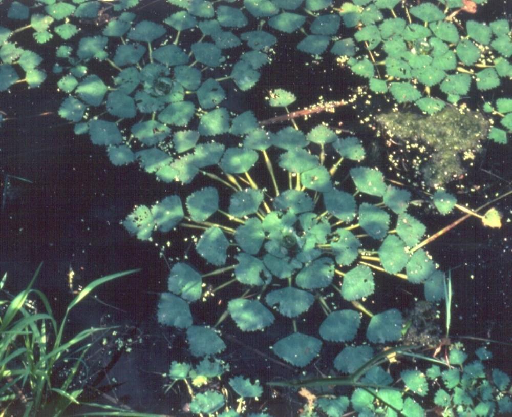 Trapa natans (water-chestnut): Go Botany