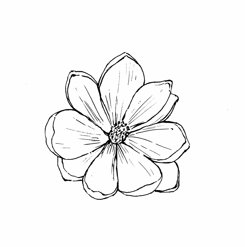 Black Line Flower Drawing : Magnolia virginiana sweet bay go botany