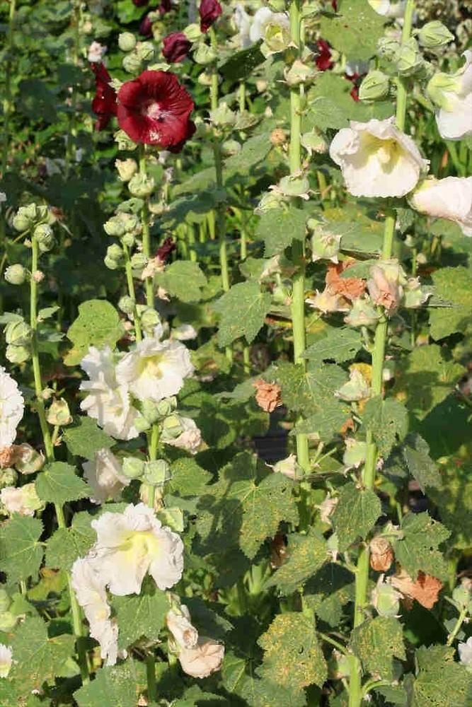 Alcea rosea hollyhock go botany for Alcea rosea