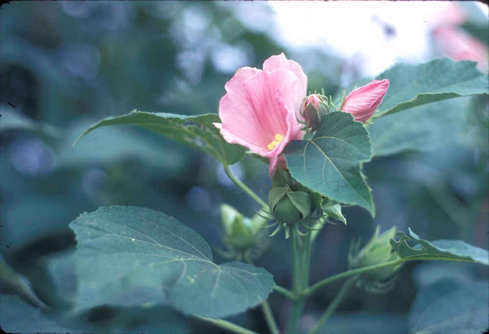 hibiscus moscheutos swamp rose mallow go botany. Black Bedroom Furniture Sets. Home Design Ideas