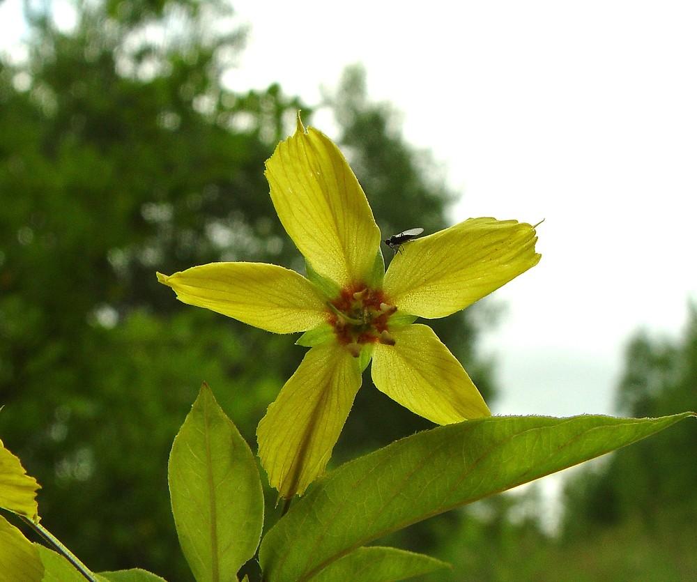 Lysimachia Ciliata Fringed Yellow Loosestrife Go Botany