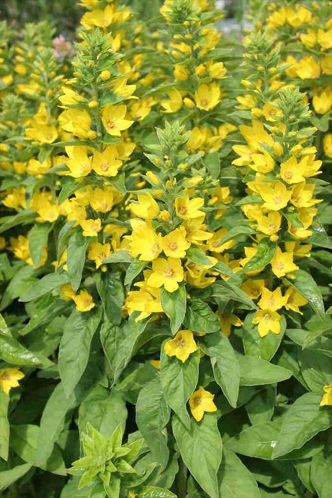 Lysimachia punctata large yellow loosestrife go botany copyright 2018 new leaves lysimachia punctata by charles brun copyright 2018 mightylinksfo