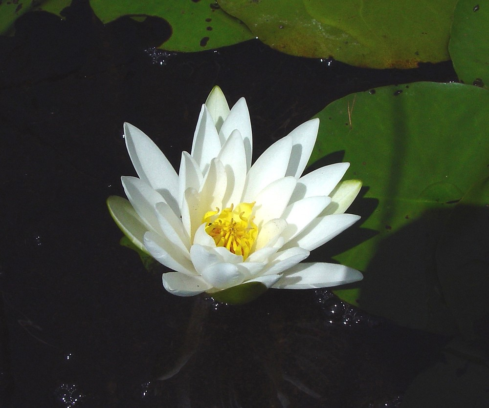 Nymphaea odorata white water lily go botany copyright 2018 flowers and fruits nymphaea odorata by arthur haines mightylinksfo