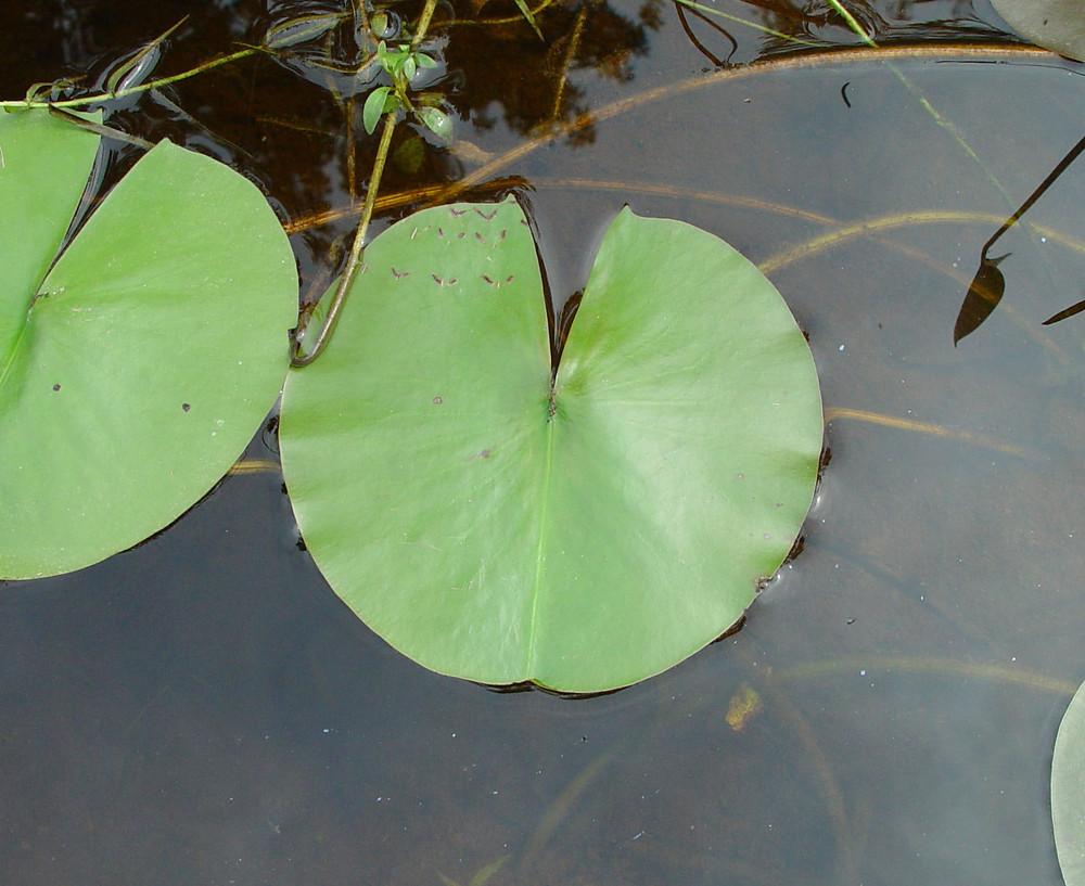 Nymphaea Odorata Leaf