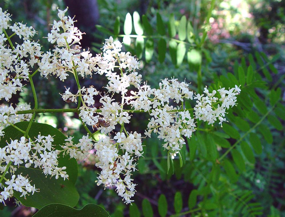 Syringa Reticulata Japanese Tree Lilac Go Botany