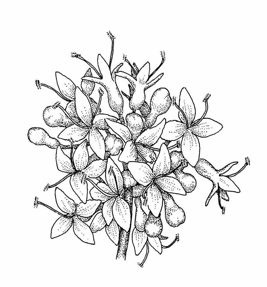 Flower Tree Line Drawing : Syringa reticulata japanese tree lilac go botany