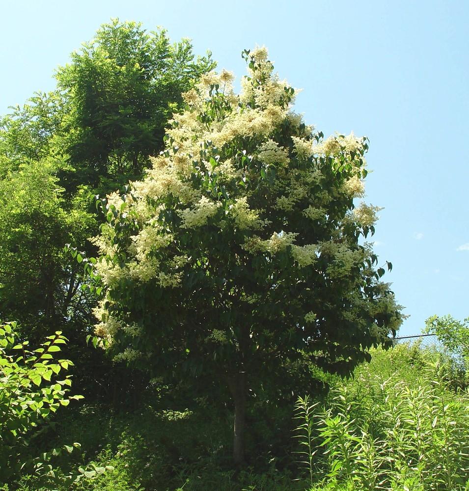 Syringa reticulata (Japanese tree lilac): Go Botany