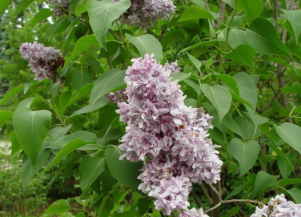 syringa vulgaris common lilac go botany. Black Bedroom Furniture Sets. Home Design Ideas