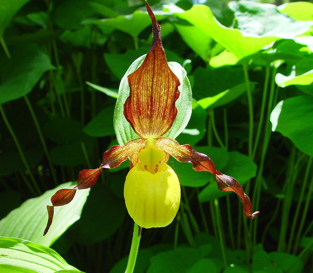 Cypripedium parviflorum (yellow lady's-slipper): Go Botany