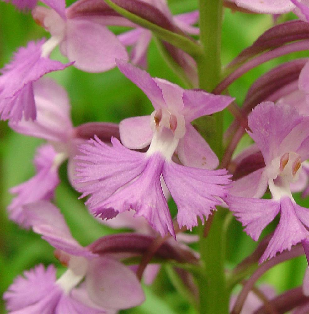 Go Botany New England Wild Flower Society
