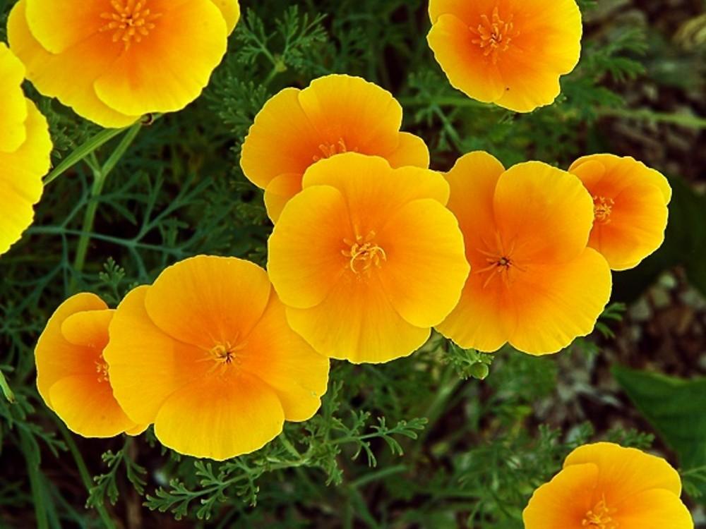 Eschscholzia californica (California-poppy): Go Botany