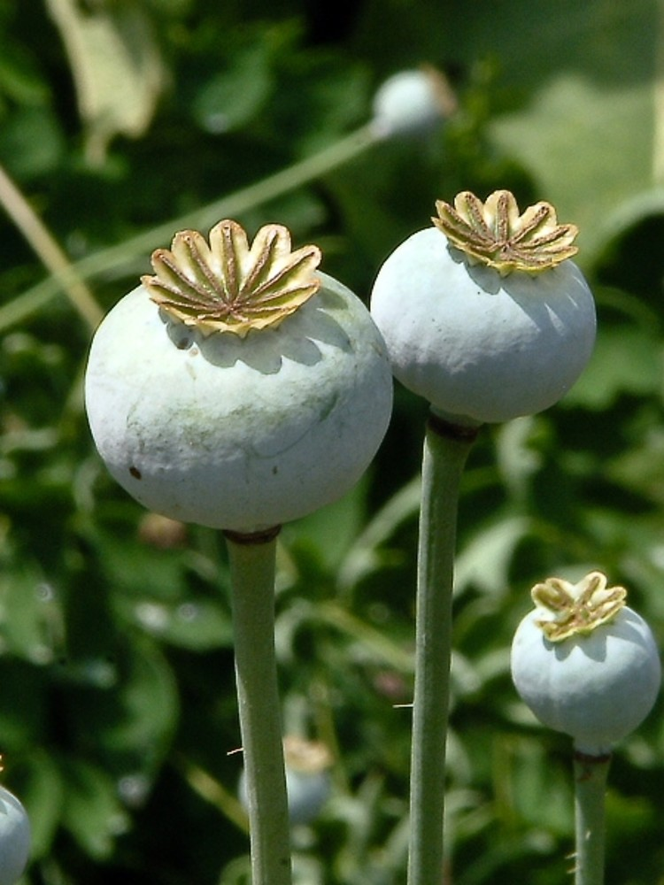 Papaver somniferum opium poppy go botany opium poppy fruits papaver somniferum by paul s drobot mightylinksfo