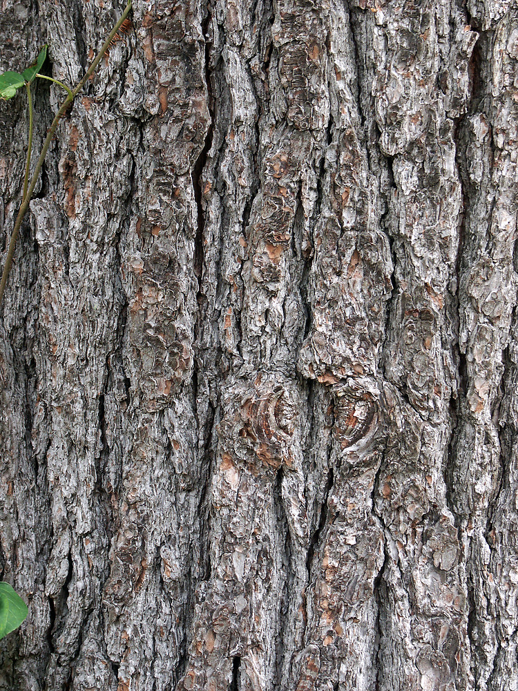 white pine milfs dating site Because the eastern white pine tree is somewhat resistant to fire, mature survivors are able to re-seed burned areas in pure stands mature trees usually have no branches on the lower half of the trunk.