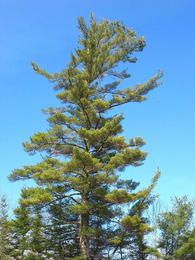 Pinus strobus eastern white pine go botany