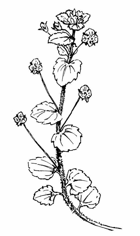 Veronica Persica Birds Eye Speedwell Go Botany