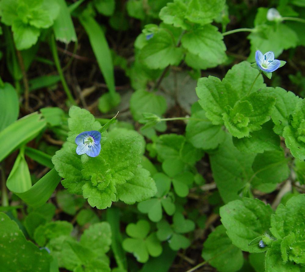 Veronica persica (bird's-eye speedwell): Go Botany  Veronica persic...