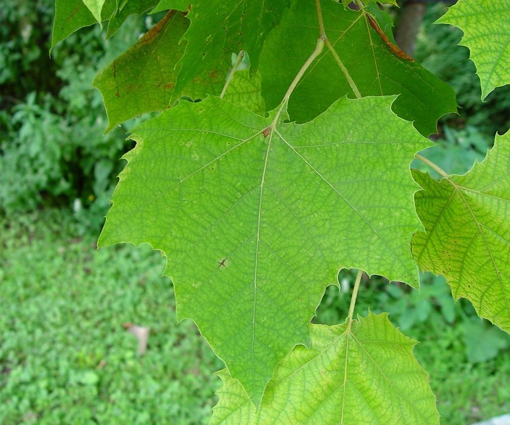 Platanus occidentalis (American sycamore): Go Botany Platanus Occidentalis Leaf