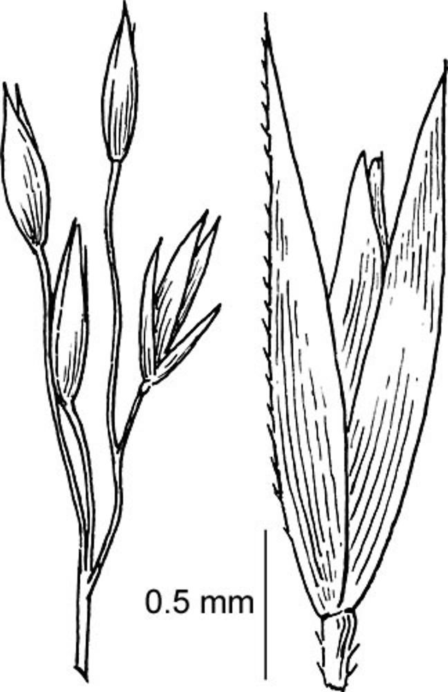 agrostis scabra  rough bentgrass   go botany