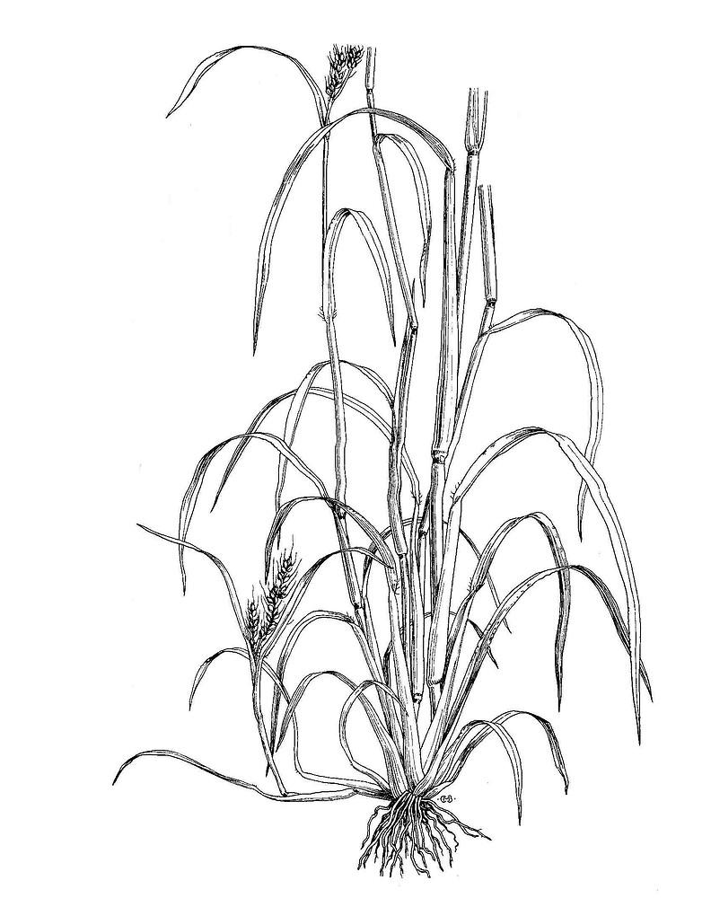echinochloa crus galli common barnyard grass go botany