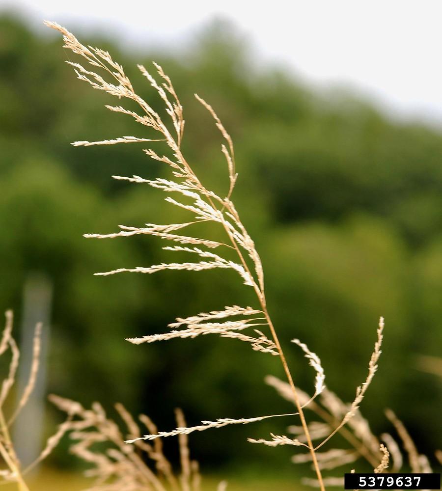 eragrostis curvula weeping lovegrass go botany