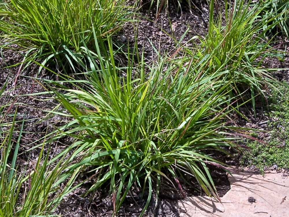 Eragrostis spectabilis (purple - 337.8KB