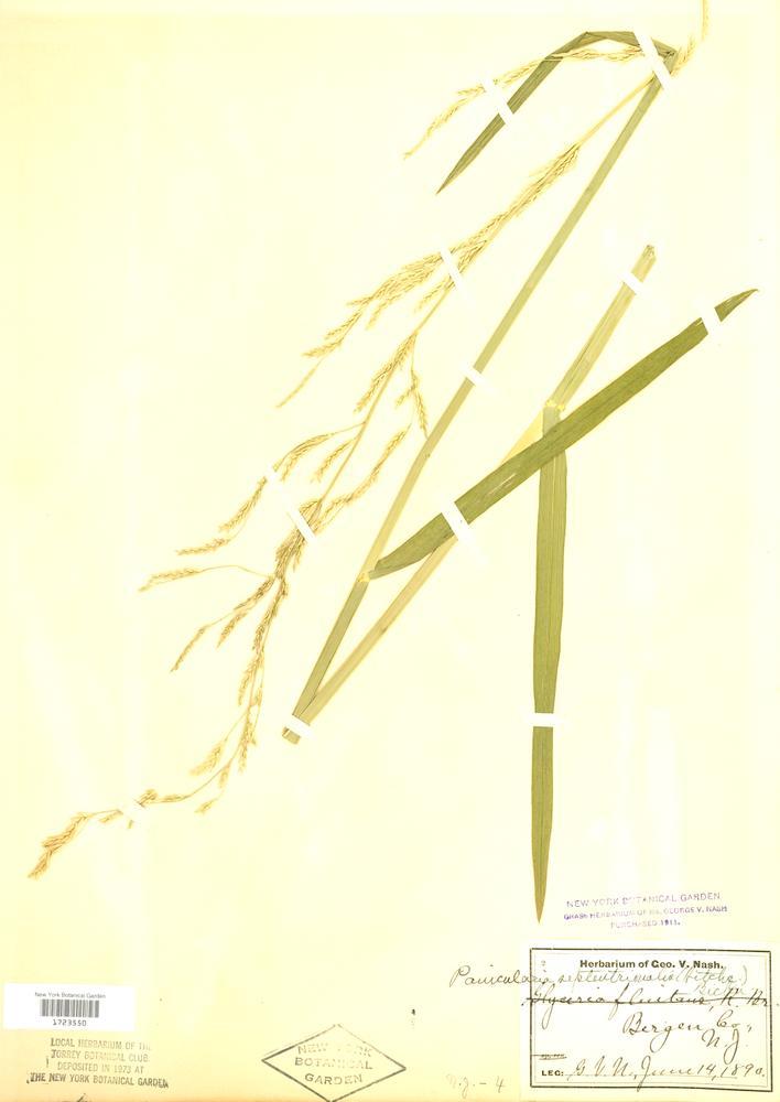 glyceria septentrionalis  floating manna grass   go botany