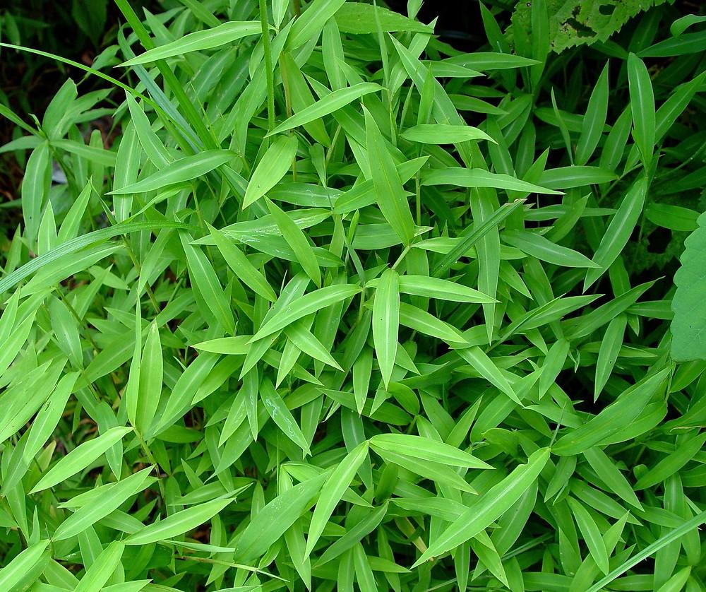 Microstegium vimineum japanese stiltgrass go botany for Japanese grass